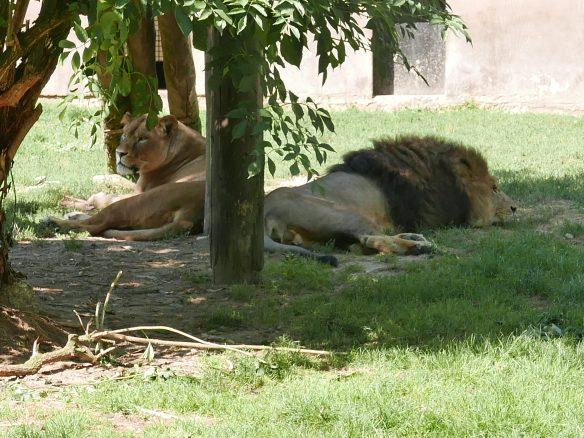 En souvenir de J.Kessel: Le Lion